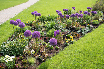 summer flower bed with alliums, green meadow and walkway