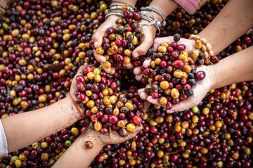 Organic red cherries coffee beans in hands of new generation farmers, berry coffee beans. Fototapete
