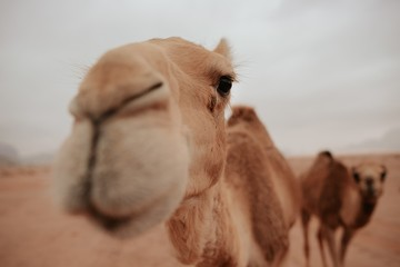 Poster Kameel camel in desert
