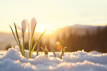 Photo sur Toile Printemps Beautiful crocuses growing through snow, space for text. First spring flowers