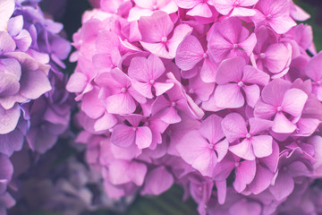Photo sur Toile Hortensia Fresh pink hortensia or hydrangea flowers growing in the garden. Natural floral background. Close up.