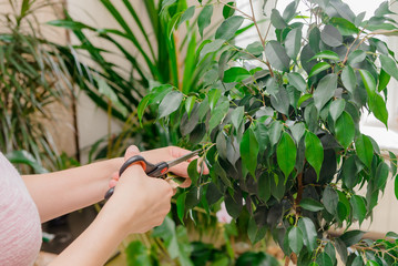 Fototapeta a female gardener cultivates a home plant. take care of a home flower in pots. scissors and pruning shears for flowers, cut off excess stems