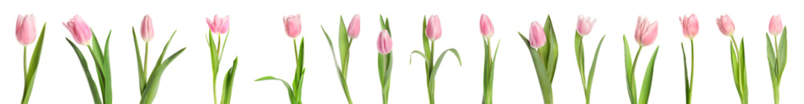 Set of beautiful spring tulips on white background. Banner design