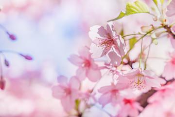 Fotobehang Kersenbloesem 満開の桜の花と新緑の葉
