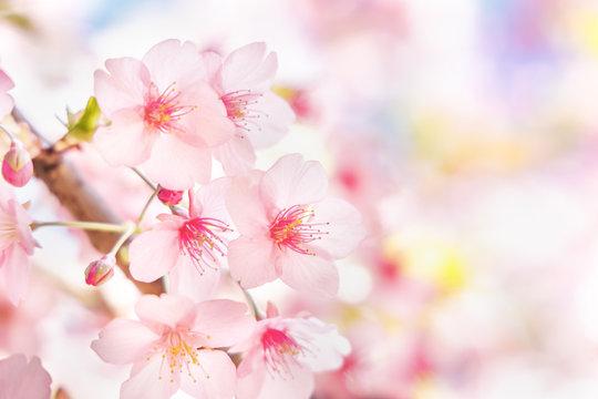 満開の桜の花と新緑の葉