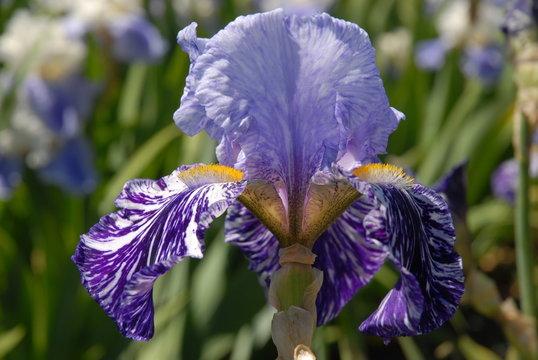 Tall bearded iris, Millenium Falcon