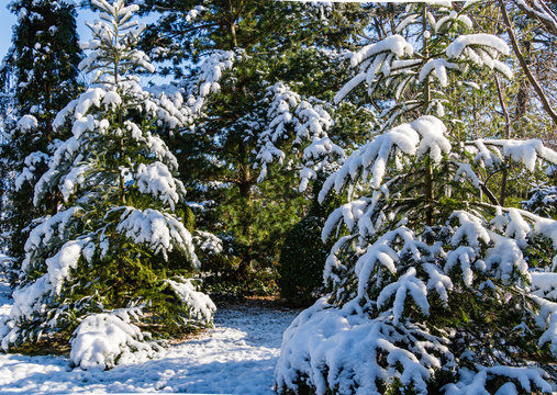 Korean fir, Nordman fir and Japanese pine Glauka under the snow. Clear sunny winter day. Evergreens in landscaped garden under snow cover. Nature concept for christmas design.