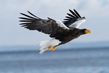 Poster Eagle Steller's Sea Eagle in flight 2