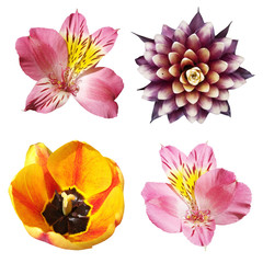 Fototapete - Set of guzmania, tulip and alstroemeria isolated on a white background