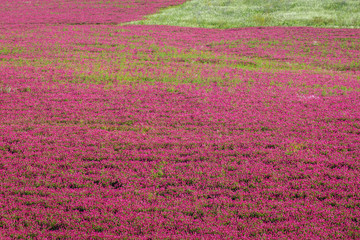 Photo sur Aluminium Rose Large sulla flowers field in Trapani Province of Sicily autonomous region in Italy