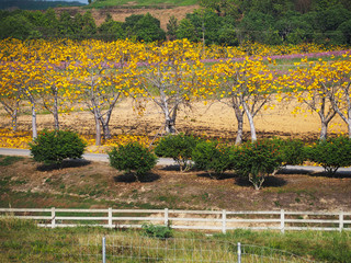 Wall Mural - Blooming yellow Cochlospermum flowers