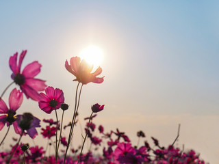 Wall Mural - pink cosmos flower over sunrise sky background.