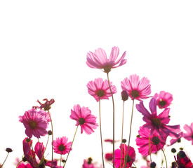 Wall Mural - pink cosmos flower in the field in the morning over white background.