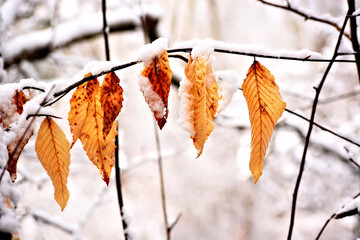 Dried brown leaves capped with fresh snow in winter