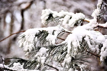 Fresh snow weighing down the branches of a pine tree closeup