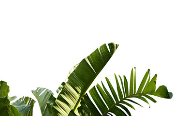 Acrylic Prints Palm tree Group of big green banana leaves of exotic palm tree in sunshine on white background. Tropical plant foliage with visible texture. Pollution free symbol. Close up, copy space.