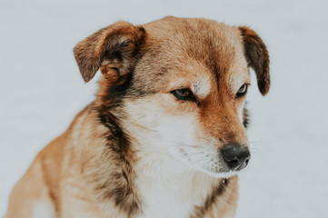 Sad dog close-up on a white background