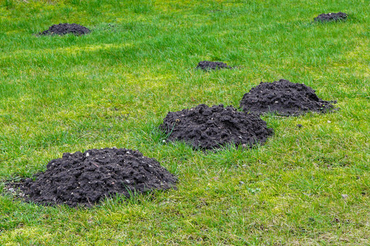 many fresh mole digs in a green meadow