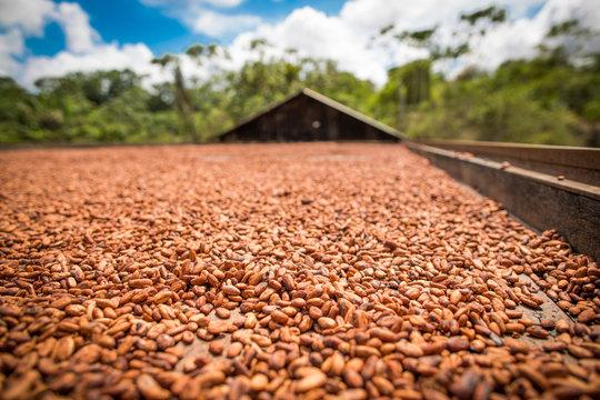 Cacau. Cacauicultura. sementes. chocolate