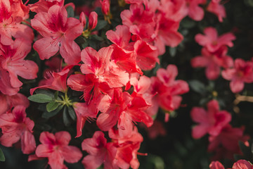 Photo sur Aluminium Azalea Blooming big bush of azaleas. Background with azalea flowers. Blooming spring background.