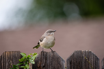Close up of small mockingbird perched on a wooden plank fence.