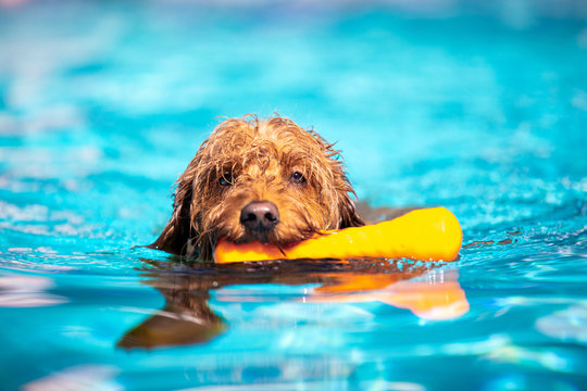 Mini goldendoodle swimming in pool
