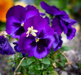 Foto auf Gartenposter Violett beautiful colorful flower covered with dew