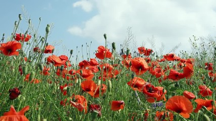 Wall Mural - Red poppy flowers meadow with blue sky, 4k