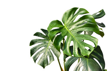 Monstera leaves on white background - isolated