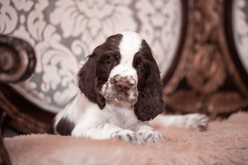 Wall Mural - Springer Spaniel puppy. 3 months. Home comfort . dog