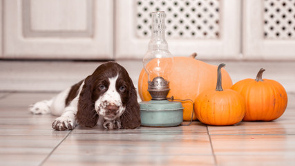 Wall Mural - A Springer Spaniel puppy sits by a pile of pumpkins.