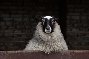 Papiers peints Sheep Curious sheep with black and white colored head and lavish wool looking out from the barn