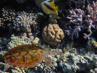 Wall Mural - The Best Coral Reef Locations: Red Sea are the largest natural structures