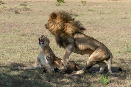 Male lion jumps off lioness after mating