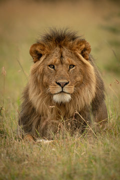 Male lion lies in grass facing camera