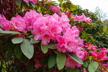 Close-up of beautiful blooming pink rhododendron or azalea flowers