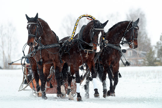 Traditional Russian troika of horses. Three horses pulling a sleigh in winter in the snowfall