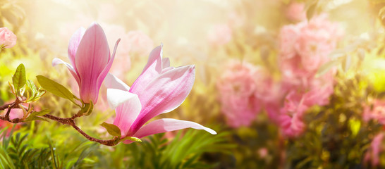 Blooming pink magnolia flowers in spring mysterious fairy tale floral garden, fabulous wide panoramic banner with blurred sunny bright glowing background and copy space