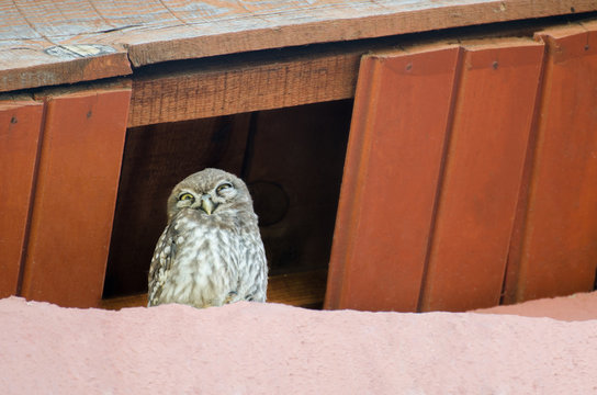 Little owl Athene noctua with big eyes on the roof