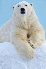 Papiers peints Ours Blanc polar bear in snow