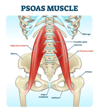 Psoas muscle medical vector illustration diagram