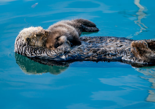 Sea otter mother & baby
