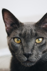 Stock Photo of a Close Up Handsome Grey Cat Staring into the Camera
