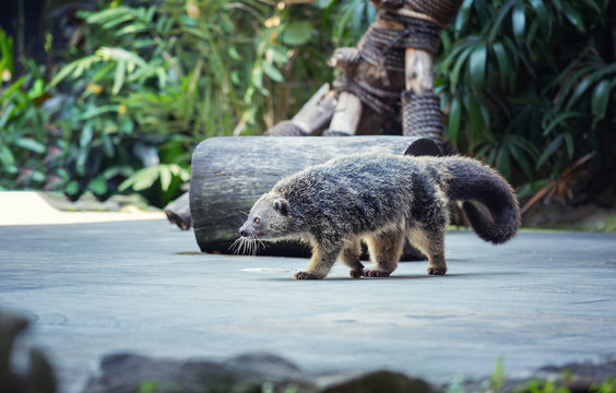 The binturong (Arctictis binturong) also known as bearcat