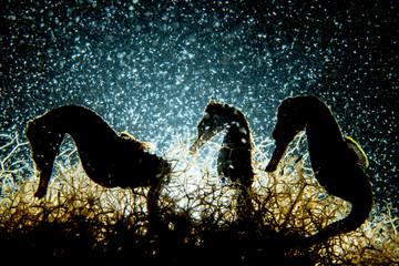Seahorse Trio Fototapete