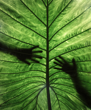 Silhouette of two hands behind a giant tropical leaf