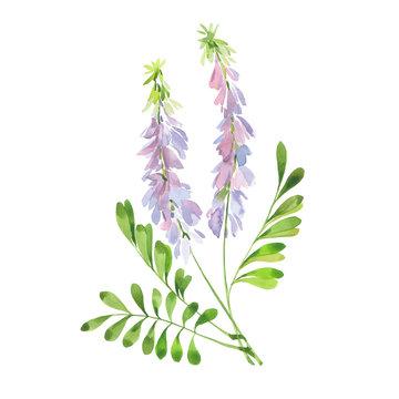 watercolor flowering licorice stalk