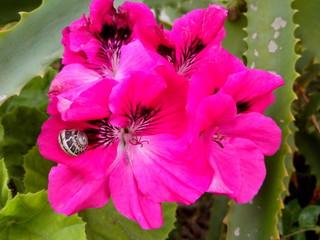 Spoed Foto op Canvas Roze Flores rosas brillantes con un pequeño caracol común