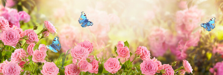 Foto auf Leinwand Rosa hell Pink rose flower and flying blue peacock eye butterflies in fabulous blooming spring fantasy garden on blurred sunny light background, mysterious fairy tale summer floral wide panoramic holiday banner