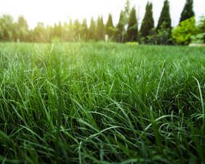 Wall Mural - tall natural grass in sunny green garden in spring